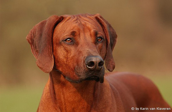 Rhodesian Ridgeback Fotos Hunderacercom Picture | Dog Breeds Picture